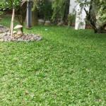 Xu hướng sử dụng cỏ lá gừng Thái Lan cho cảnh quan 2019