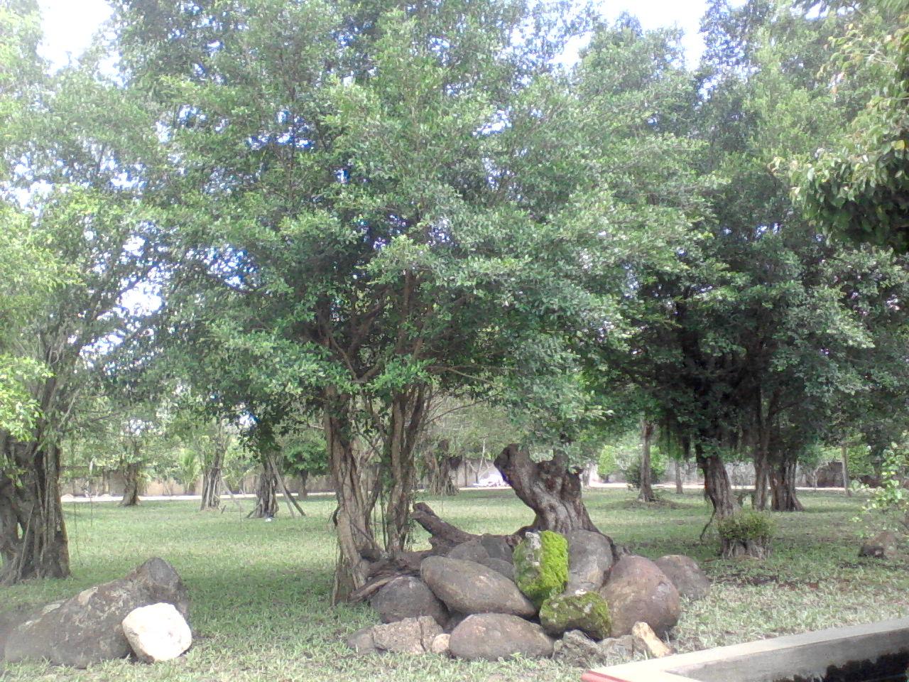 cỏ gừng dưới tán cây