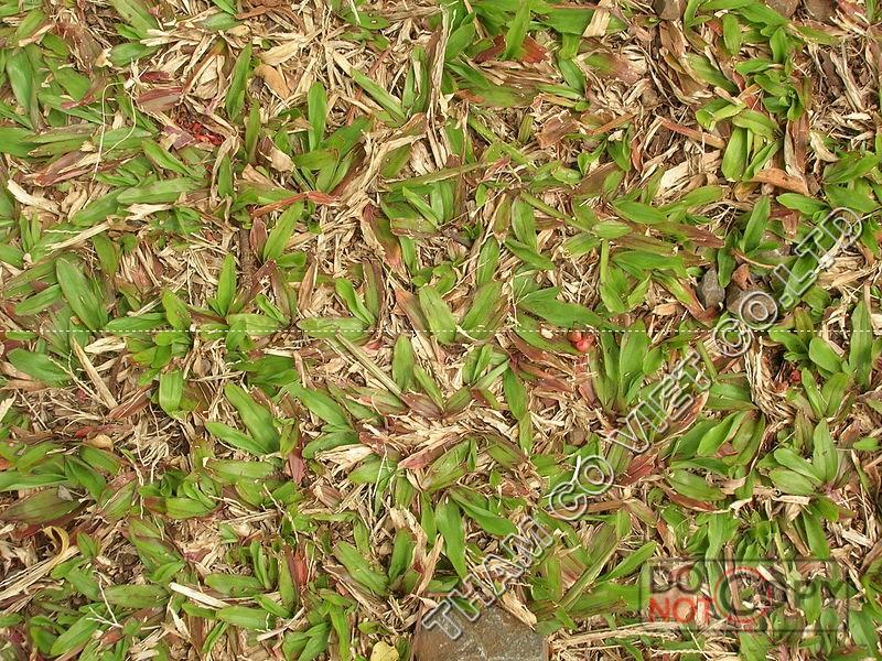 cỏ lá gừng trong điều kiện nắng gắt