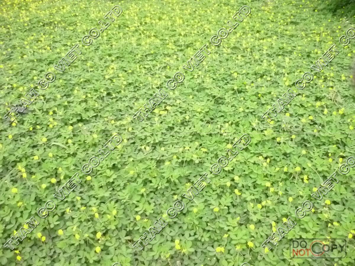 cỏ đậu phộng