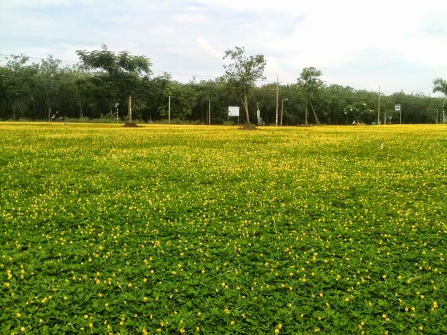 cỏ đạu phộng
