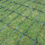 Giá cỏ lá gừng Thái Lan tại TPHCM là bao nhiêu ?