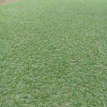 Bật mí 7 cách phân biệt cỏ lá gừng với cỏ lá gừng Thái Lan