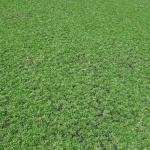 Bán cỏ lá gừng Thái Lan ở đâu tại TPHCM chất lượng nhất ?