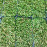 Cung cấp cỏ lá gừng Thái Lan tại TPHCM chất lượng nhất