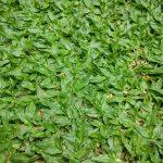 Cách trồng cỏ lá gừng Thái Lan nhanh và tiết kiệm nhất 2019
